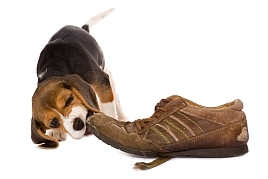 Separation Anxiety in Dogs - photo of beagle chewing shoe
