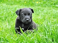 how to train a puppy - image of cute black puppy in green grass