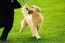 how to leash train a puppy - golden retriever walking on leash with happy smile