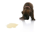 how to potty train a puppy - photo of puppy looking at urine puddle on a white floor